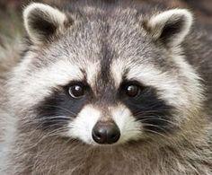 Raccoon Face Drawing | raccoon face