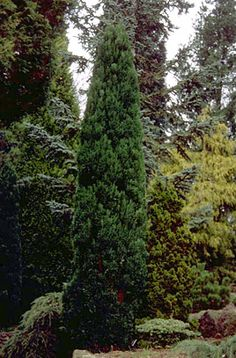 Lawson's cypress 'Grayswood Feather'
