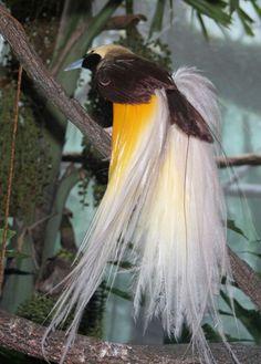 paradijsvogel paradiesvogl birds of paradise Sujit kumar 580x811 Paradijsvogels