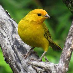 Confira lindas fotos de canário-da-terra e compartilhe com seus amigos! Canario Da Terra, Rare Birds, My Animal, Wildlife, Pets, Animals, Yellow Birds, Beautiful Birds, Pet Birds