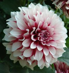 White and magenta Dahlia, i want these in my wedding