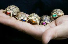 Little mini-turtles, color-coded. Here u go Lisa.