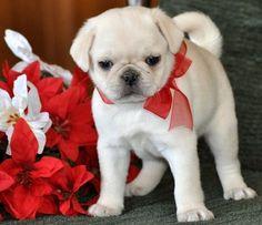 Festive, cream colored Pug puppy.