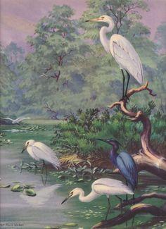American Egret and Blue Heron. Walter A. Weber vintage 1933 Bird art.