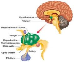 The pituitary gland is located in the brain and is controlled by the hypothalamus and a negative feedback from target organs and it's function can be affected due to compression by CSF.