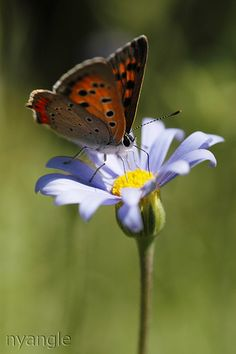 Small Copper on the blue flower