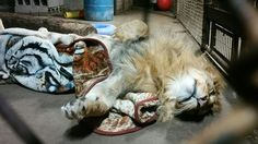 Rescued Lion Has Been Obsessed With Blankets Since He Was A Baby