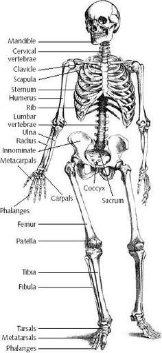 Labeled Skeletal System Diagram Skeletons Shoulder And Plays