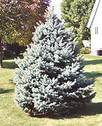 Buying a Christmas Tree to Plant Outside Later - The key to success is timing. Purchase the tree as close to Christmas as possible, and keep in indoors for as brief a time as you can. It is also important to prepare a planting spot outdoors before the ground freezes so hard you can't dig. Site has directions, hints, and photos!