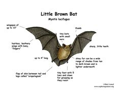 Little Brown Bat calls recorded using a home-made detector (heterodyne downconverter) coupled with a Tascam Porta II cassette tape unit. Forest School Activities, Science Activities For Kids, Bat Species, Adventure Aesthetic, Best Bud, Little Brown, Dark Tan, Science And Nature, Pet Care