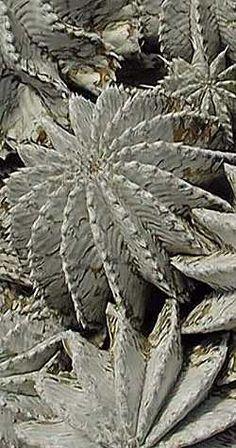 Euphorbia horrida var. noorsveldensis