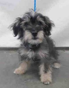10/11 STATUS UNKNOWN~ Animal ID #A620464   *** 4 Month Old PUPPY ALERT!!! ‒ I am a Male, Black & Brown Miniature Poodle and Cocker Spaniel mix. The shelter thinks I am about 4 months old. I have been at the shelter since May 11, 2015.   Ventura County Animal Services - Camarillo  Telephone ‒ (805) 388-4341 600 Aviation Drive Camarillo, CA Fax: (805) 388-4393…