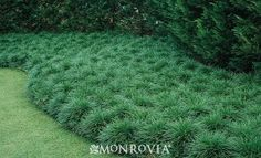 Mondo Grass - Evergreen grass substitute for shady areas, under fruit trees?