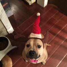 My dog Piggy is ready for her first Christmas with us since her adoption in September! http://ift.tt/2yopFHY cute puppies cats animals