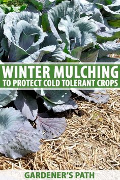 garden care vegetable Want to help your garden rest well this winter Winter mulching is a great way to prolong harvests, improve soil quality, and protect overwintering plants by insulating soil with organic materials. Learn how to use mulch to bet Fall Vegetables, Growing Vegetables, Growing Tomatoes, Organic Gardening, Gardening Tips, Vegetable Gardening, Veggie Gardens, Kitchen Gardening, Types Of Mulch