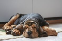 "Buck, a bloodhound from Fallston, Maryland.  In the top 100 in 2014 Garden & Gun Magazine ""Good Dog"" Photo Contest"