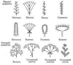 будова квітки і види суцвіть - Google Search