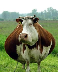 How to Raise Beef Cattle on A Few Acres Funny Cow Pictures, Funny Images, Funny Pics, Farm Animals, Animals And Pets, Funny Animals, Majestic Animals, Animals Beautiful, Photoshop