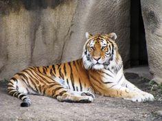 Prakash Javadekar informed, 78 tigers died in 2014!