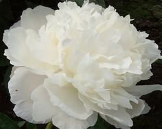 Peony Amalia Olson - Late Midseason Lactiflora, double pure white, fragrant, medium to large flower, petals overlap, symmetrically arranged in a slightly dome shaped flower, slight red markings on reverse of guard petals, good cut flower, awarded the Home Achievement Medal National Show in North Dakota 1959 and American Peony Society Gold Medal 2011, named for Mr. Olsons mother.(Olson, 1959) - www.peonyshop.com