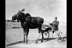 The first man to bring news of the Klondike Gold Rush to the contiguous United States also domesticated a pair of moose. And he wasn't the only one with a pet moose at the turn of the 20th century.