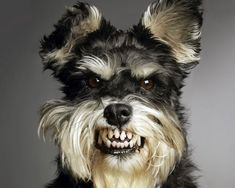 Ranked as one of the most popular dog breeds in the world, the Miniature Schnauzer is a cute little square faced furry coat. Angry Animals, Funny Animals, Cute Animals, Animals Dog, Miniature Schnauzer Puppies, Schnauzer Puppy, Schnauzers, Pet Dogs, Dogs And Puppies