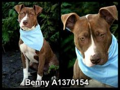 RIP sweet BENNY   **EMERGENCY ~ RED ALERTED** ~ ADORABLE LOVABLE 1 YEARS OLD MALE BROWN & WHITE PIT BULL TERRIER!! BENNY - ID#A1370154 - HARBOR SHELTER - SAN PEDRO, CA (L.A. AREA)