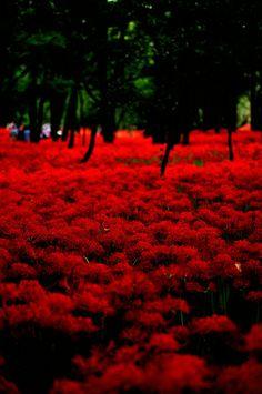 https://flic.kr/p/g77thx  #RedSpiderLily #LycorisRadiata #曼珠沙華 #彼岸花