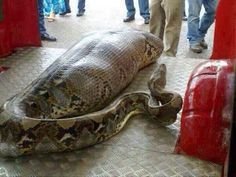 Snake eats drunk person: Another one of those perfect storm viral hoaxes  The author, Dr. David Steen, wildlife ecologist, goes on to say that this kind of python is not found in the area mentioned, that there is no record of a python EATING a person, (Killing, yes. Eating, no.)