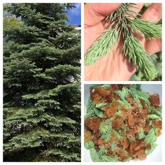 Picea spp. aka Spruce. This evergreen conifer is so intensely associated with Christmas that it is often overlooked during its prime time spring time. Now's the time to gather and eat Spruce and and other evergreen conifers.  I know what you're thinking... Spruce needles are tough and sharp. The cones are hard as wood. How or why would I want to eat them?!?! Well you're not wrong. Spruce needles do toughen up and the cones are hard as wood. But they only toughen and harden as they age. The…