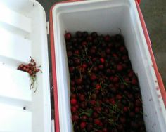 Making Cherry Wine... I'll post our progress so come back and check often ! 1st remove stone/pit !