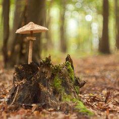 Macrolepiota procera - Mushroom