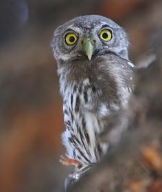 Pygmy Owl | Note the lizard in this photo.