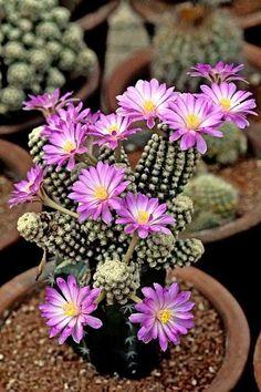 Plants cactus flower ideas for 2019 Planting Flowers, Plants, Succulents, Amazing Flowers, Beautiful Flowers, Cactus Plants, Trees To Plant, Flowers, Planting Succulents