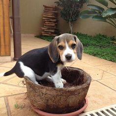 Beagle flower