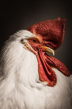 Want to shut a Rooster up? Discuss chicken wing recipes by Alan Shapiro on 500px.com