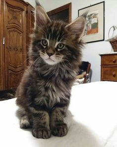 """Mi piace"": 28, commenti: 2 - Andrea Amaroli (@hollycoon_cattery) su Instagram: ""HOLLYCOON Chronos www.hollycoon.com #mainecoon #catsoftheworld #catslovers #corsofotografico"""