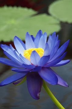 86 Best Blue Lotus Images Beautiful Flowers Lotus Flower