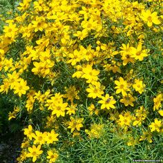 Coreopsis Zagreb, Tickseed- replace hosta with this. It will resist deer and look nice against the nepeta walkers low catmint