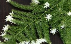 6 Asparagus Fern Seeds   Asparagus Setaceus Small Bamboo Bonsai Setose Plants DIY Mini Gardening Decor