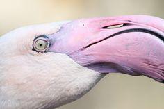 Greater Flamingo (Phoenicopterus roseus) eye