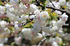 cerisiers du parc shinjuku gyoen Shinjuku Gyoen, Belle Photo, Plants, Health, Cherry Blossom, Plant, Planting, Planets