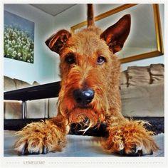cachou, the irish terrier