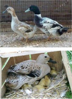 Duck Breeds: Male and Female Welch Harlequin and a female Welch Harlequin with baby chicks A few varied photos that I like Backyard Ducks, Backyard Birds, Chickens Backyard, Welsh Harlequin Duck, Pekin Duck, Raising Ducks, Pet Ducks, Best Egg Laying Chickens, Chicken Incubator