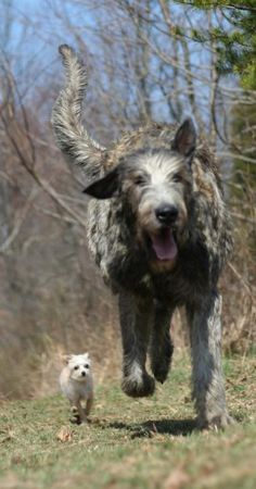 Oh, yeah! what you can't tell from the photo is that the Wolfhound is actually running away from the tiny dog. Wolfies are wussies.