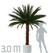 Konservierte Echtblatt-Palme von www.palmen24.de. Sie wird durch ein spezielles Verfahren der Konservierung unbegrenzt haltbar gemacht. Mit echten Palmwedeln. EU-weit kaufen oder mieten.