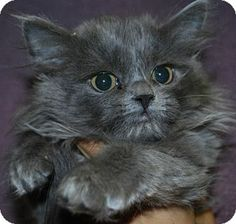 Pomona, CA - Domestic Longhair. Meet Lilly I1200364 Kennel A23 a Kitten for Adoption at the Inland Valley Humane Society & S.P.C.A -- cgallardo@ivhsspca.org Ph (909) 623-9777 ext.612