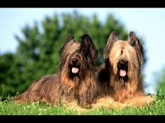 Briard Dog Show 2016 WKC Westminster Kennel Club