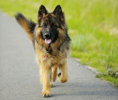 Lovely long hair German Shepherd