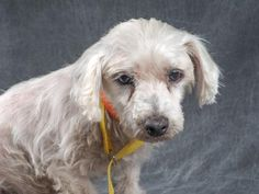 Adopt Birdie, a lovely 8 years Dog available for adoption at Petango.com.  Birdie is a Maltese and is available at the National Mill Dog Rescue in Colorado Springs, Co.  www.milldogrescue.org #adoptdontshop  #puppymilldog   #rescue  #adoptyourfriendtoday